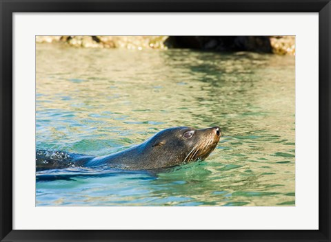 Framed New Zealand, South Island, Marlborough, Fur Seal Print