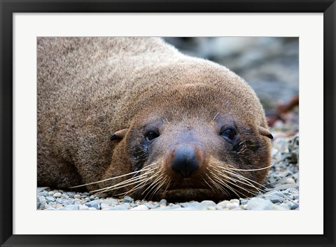 Framed New Zealand, South Island, Kaikoura Coast, Fur Seal Print