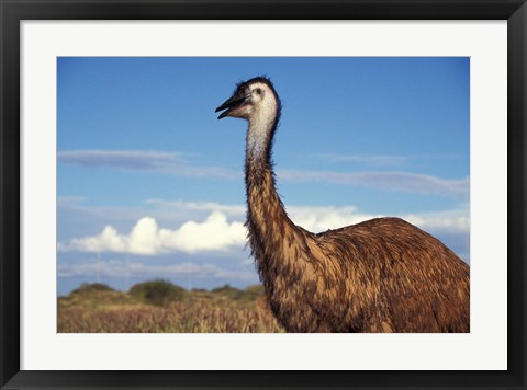 Framed Australia, Emu, flightless bird Print