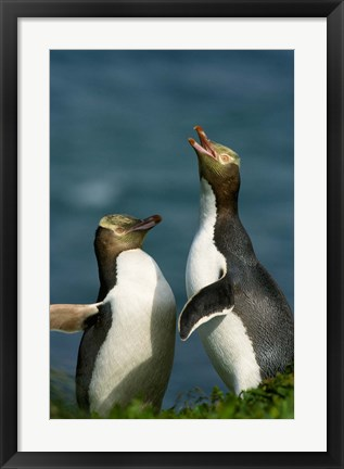 Framed Yellow-Eyed Penguin, Enderby Is, Auckland, New Zealand Print