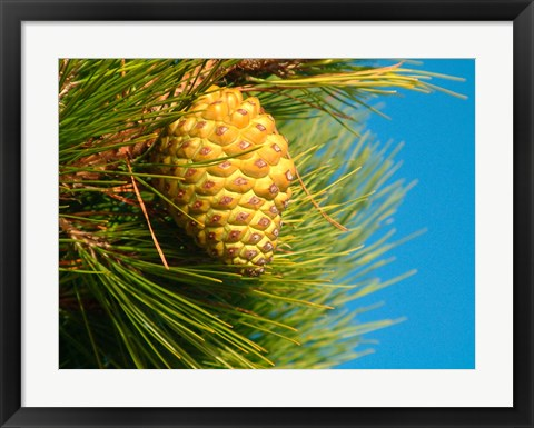 Framed Pine Cone in Tree, New Zealand Print