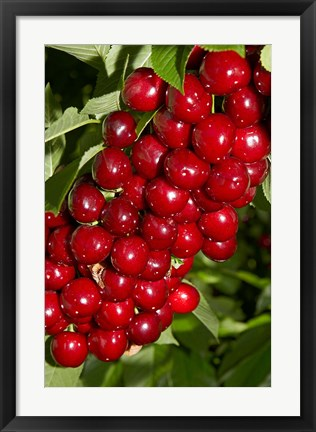 Framed Agriculture, Cherry Orchard, South Island, New Zealand Print