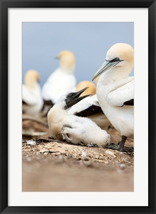 Framed Gannet tropical birds, Cape Kidnappers New Zealand Print