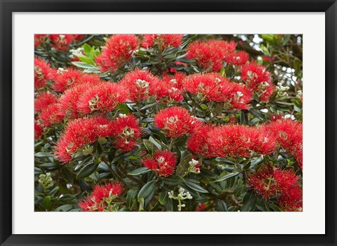 Framed Native Pohutukawa flowers, Bay of Islands, New Zealand Print