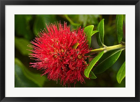 Framed Pohutukawa Flower, Dunedin, South Island, New Zealand Print