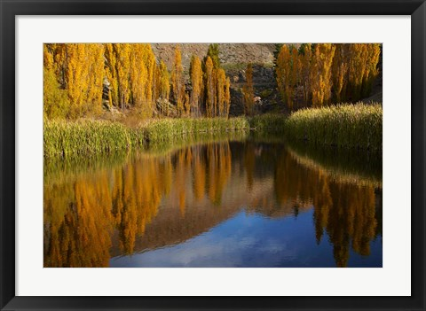 Framed Poplar trees in Autumn, Bannockburn, Cromwell, Central Otago, South Island, New Zealand Print