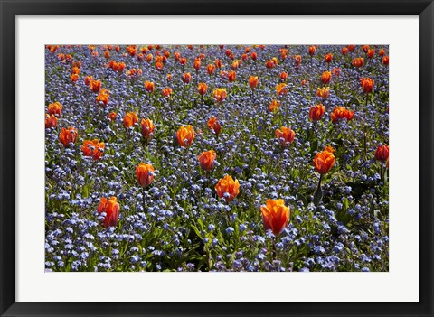 Framed Tulip flowers, Ashburton Domain, New Zealand Print