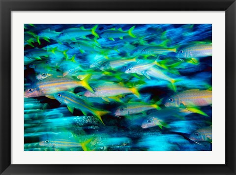 Framed Grunts in Motion, Abacos, Bahamas Print