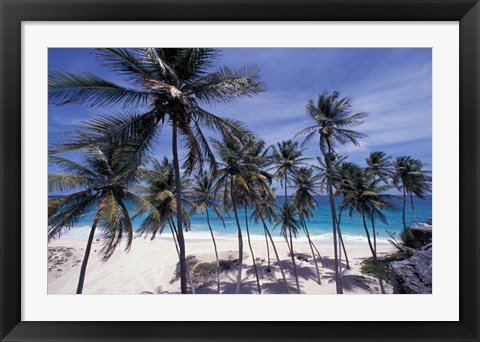 Framed Palm Trees on St Philip, Barbados, Caribbean Print