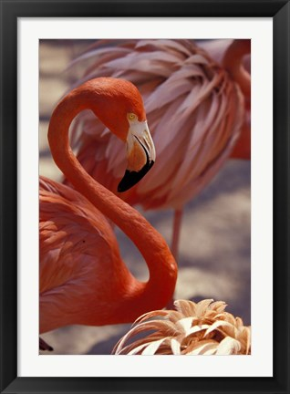 Framed Pink Flamingo in Ardastra Gardens and Zoo, Bahamas, Caribbean Print