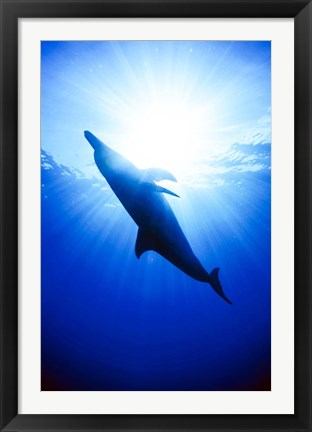 Framed Atlantic Spotted Dolphin, Bahamas Print