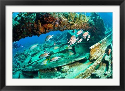 Framed Schooling Soldierfish, Wreck of the RMS Rhone, coast of Salt Island, Tortola, British Virgin Islands, Caribbean Print