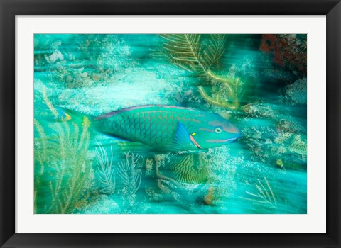 Framed Stoplight Parrotfish, Virgin Gorda Island, British Virgin Islands, Caribbean Print