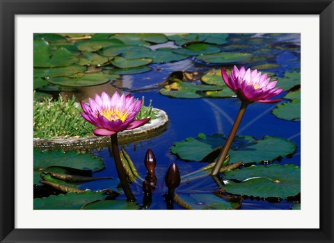 Framed Water Lillies in Reflecting Pool at Palm Grove Gardens, Barbados Print