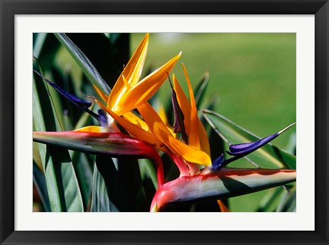 Framed Bird of Paradise in Bermuda Botanical Gardens, Caribbean Print
