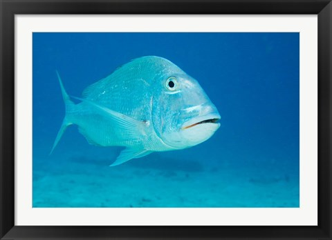 Framed Jolthead Porgy fish, Bonaire, Netherlands Antilles Print