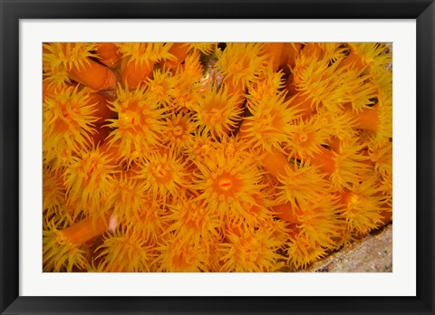 Framed Orange Cup Coral marine life, Netherlands Antilles Print