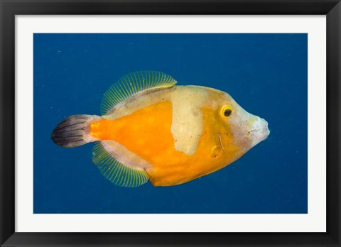 Framed Whitespotted File fish Orange Phase, Bonaire, Caribbean Print