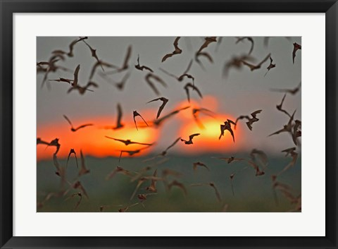 Framed Mexican Free-Tailed Bats, Concan, Texas, USA Print