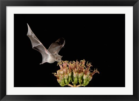 Framed Mexican Long-tongued Bat, Agave Blossom, Arizona Print