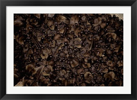 Framed Madagascar, Ankarana, Tongue-clicking fruit bat wildlife Print
