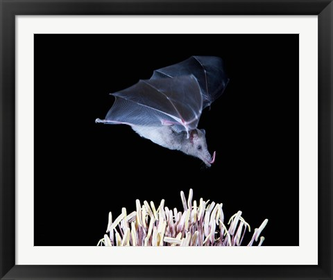 Framed Leafnosed fruit bat, agave, Tucson, Arizona, USA Print