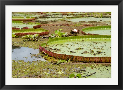 Framed Brazil, Amazon, Valeria River, Boca da Valeria Giant Amazon lily pads Print