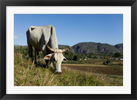 Framed Ox Grazing, Farm animals, Vinales, Cuba Print