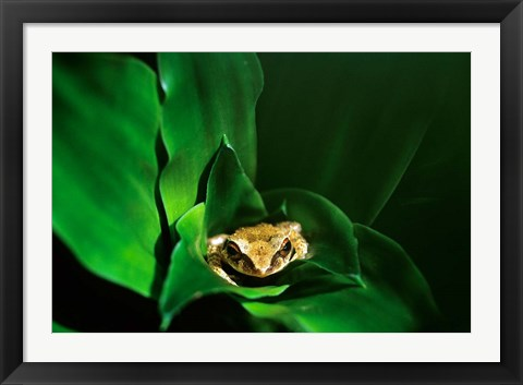Framed Coqui Frog in Puerto Rico Print