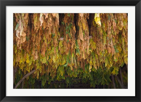 Framed Drying tobacco, Cuba Print