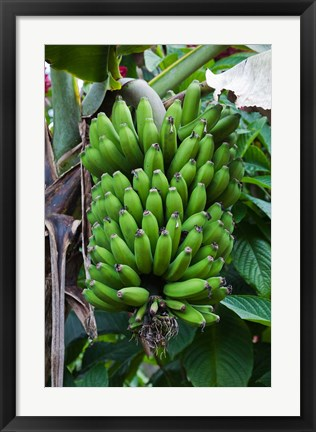 Framed Cuba, Topes de Collantes banana fruit tree Print