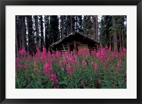 Framed Abandoned Trappers Cabin Amid Fireweed, Yukon, Canada Print