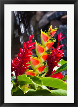 Framed Dominica, Roseau, heliconia, red ginger flowers Print
