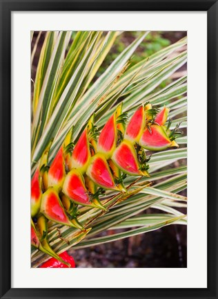 Framed Dominica, Roseau, tropical heliconia flower Print