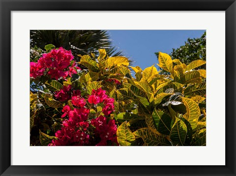 Framed Bougainvillea flowers, Bavaro, Higuey, Punta Cana, Dominican Republic Print