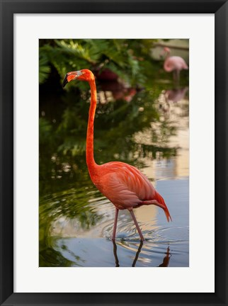 Framed Pink flamingo, Bavaro, Higuey, Punta Cana, Dominican Republic Print