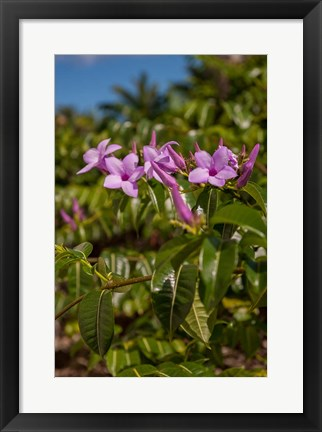 Framed Tropical purple flowers, Bavaro, Higuey, Punta Cana, Dominican Republic Print