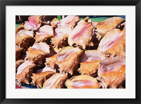 Framed Conch Shells, St Georges, Grenada, Caribbean Print