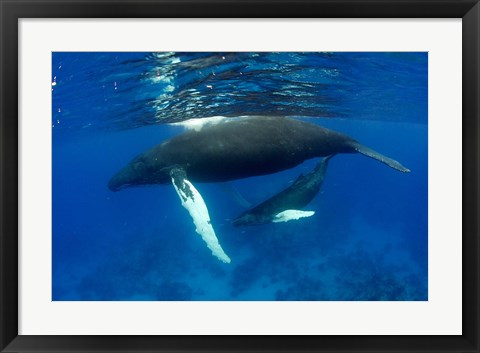 Framed Humpback whale mother and calf, Silver Bank, Domincan Republic Print