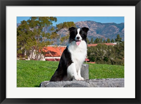Framed Border Collie dog sitting Print