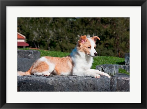 Framed Border Collie puppy dog lying Print