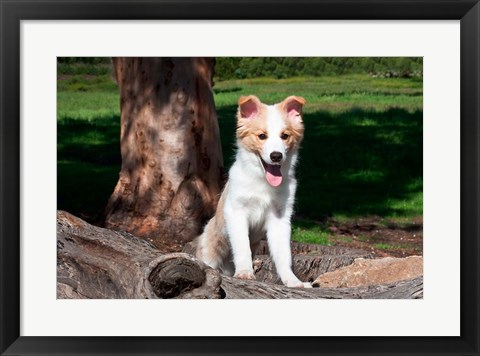 Framed Border Collie puppy dog  by a tree Print