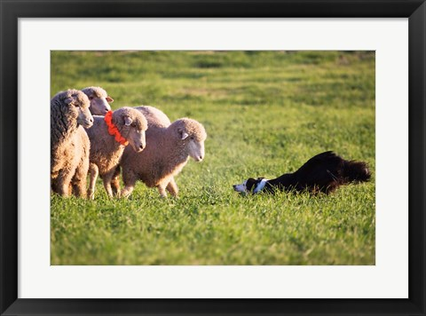 Framed Purebred Border collie dog and Merino sheep Print