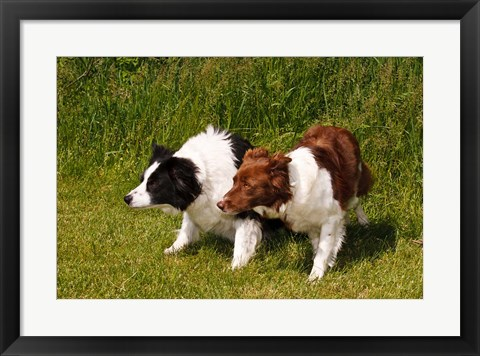 Framed Purebred Border Collie dogs Print