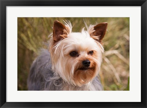 Framed Purebred Yorkshire Terrier Dog Print