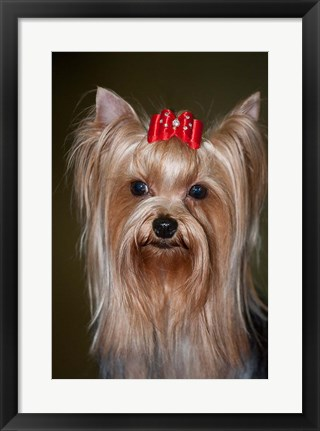 Framed Show Yorkshire Terrier Dog with red bow Print