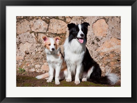 Framed adult Border Collie dog with puppy Print