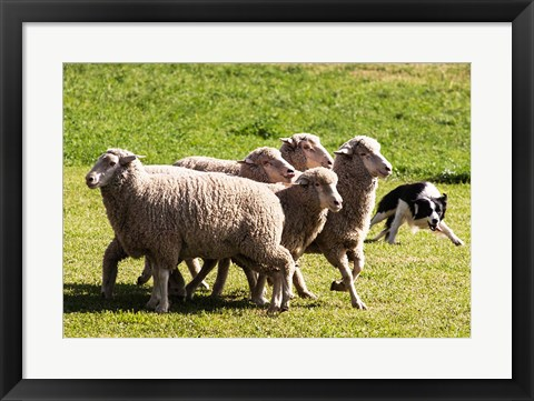 Framed Purebred Border Collie dog turning sheep Print