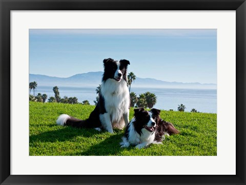 Framed Two Border Collie dogs Print