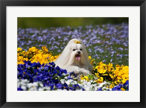 Framed USA, California Maltese lying in flowers with yellow bow Print